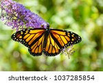 A Beautiful Monarch Butterfly...