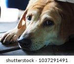 stray dog lonely dog | Shutterstock . vector #1037291491