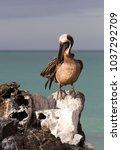 brown pelican  pelecanus...   Shutterstock . vector #1037292709