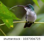 andean green hummingbird on a... | Shutterstock . vector #1037306725
