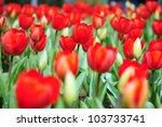 big red tulips in the garden | Shutterstock . vector #103733741
