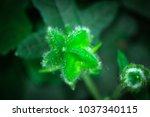 Small photo of Close up Abelmoschus sagittifolius bud in garden