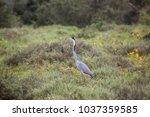 black headed heron  ardea...   Shutterstock . vector #1037359585