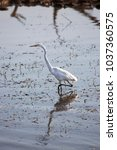 common or great egret  ardea...   Shutterstock . vector #1037360575