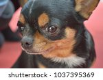 cute chihuahua dog  | Shutterstock . vector #1037395369