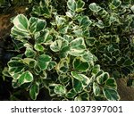 Small photo of Top view of Mistletoe Fig tree bonsai (Ficus natalensis subsp. leprieurii) shows its variegated truncate shaped leaves.