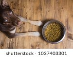 Stock photo pet eating food dog eats food from bowl the dog asks for food hungry dog waiting to eat out of 1037403301