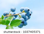 macro closeup of beautiful ripe ... | Shutterstock . vector #1037405371