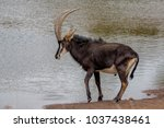 Sable Antelope Near A Water Hole