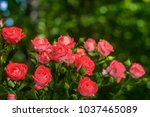 Stock photo pink roses on fresh green leaf background and bokeh blure with shallow depth of field soft focus 1037465089