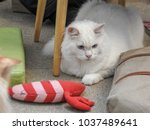 Stock photo cute white persian cat playing with red pillow toy 1037489641