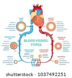 blood vessel types anatomical... | Shutterstock .eps vector #1037492251