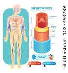 medium vein anatomical vector... | Shutterstock .eps vector #1037493289