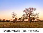 boab  aka baobab tree  trees at ... | Shutterstock . vector #1037495359