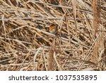 robin bird erithacus rubecula | Shutterstock . vector #1037535895