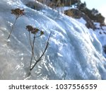 plant trying to grow under ice. ... | Shutterstock . vector #1037556559