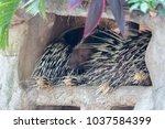 malayan porcupine  himalayan... | Shutterstock . vector #1037584399