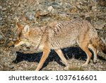coyote walking near a road in... | Shutterstock . vector #1037616601