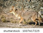 coyote walking near a road in... | Shutterstock . vector #1037617225