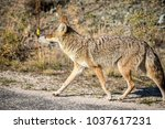 coyote walking near a road in... | Shutterstock . vector #1037617231