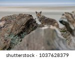 coyote in the rocks looking for ... | Shutterstock . vector #1037628379