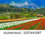 Tulip Garden in the valley of Kashmir, India
