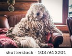 hungarian komondor dog in an... | Shutterstock . vector #1037653201