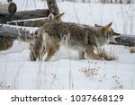 coyote walking in the snow | Shutterstock . vector #1037668129