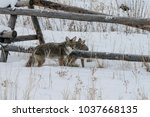 coyote walking in the snow | Shutterstock . vector #1037668135