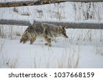 coyote walking in the snow | Shutterstock . vector #1037668159