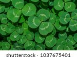 springtime clover with dew...   Shutterstock . vector #1037675401
