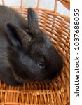 Small photo of Cute black bunny, easter bunny, Moravia region, Czech Rebublic, Europe