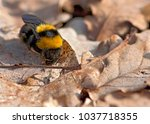 The Bumblebee Or Bumble Bee ...