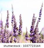 lavender field in the summer    Shutterstock . vector #1037723164