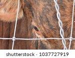 Brown Hair Cow Head Peering...