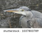 a stunning head shot of a grey...   Shutterstock . vector #1037803789