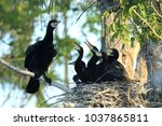 great cormorant  phalacrocorax... | Shutterstock . vector #1037865811