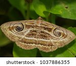 close up moth from nature  most ... | Shutterstock . vector #1037886355