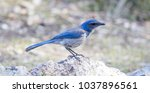 Small photo of California Scrub-Jay (Aphelocoma californica) Adult perched on a rock. Pinnacles National Park, San Benito County, California, USA.