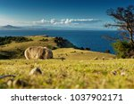 Small photo of Vombatus ursinus - Common Wombat in the Tasmanian scenery