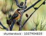Small photo of Acanthorhynchus tenuirostris - Eastern Spinebil beautiul honeyeater from Australia