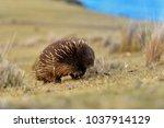 tachyglossus aculeatus   short... | Shutterstock . vector #1037914129