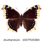 Stock photo camberwell beauty or mourning cloak nymphalis antiopa butterfly native to north america and 1037920384