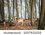 Fallow deer  dama dama   in...