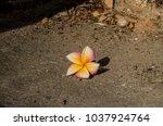 frangipani flower on sunny day.   Shutterstock . vector #1037924764