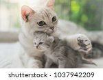 Stock photo american shorthair cat hugging her kitten with love 1037942209