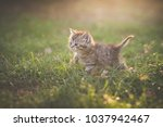 Stock photo cute kitten playing in the garden under sunlight 1037942467
