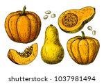 pumpkin and butternut squash... | Shutterstock . vector #1037981494