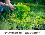 Woman Picking Fresh Lettuce In...