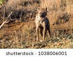 hyena standing before the den... | Shutterstock . vector #1038006001
